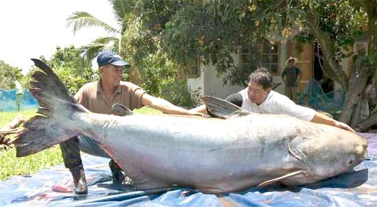 Riesenfisch gefangen im mekong
